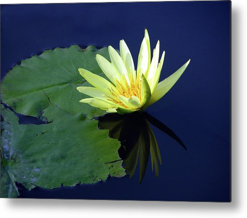 Water Lily Metal Print featuring the photograph Golden Lily by John Lautermilch