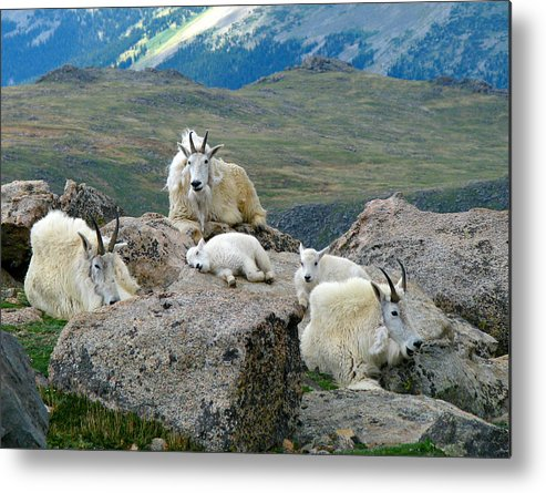 Horned Metal Print featuring the photograph Mountain Goats In The Rocky Mountains by Carl Neufelder