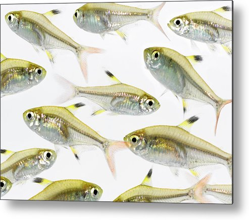 White Background Metal Print featuring the photograph School Of X-ray Tetra Fish Pristella by Don Farrall