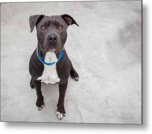 Pets Metal Print featuring the photograph Pit bull dog sitting by Paul Park
