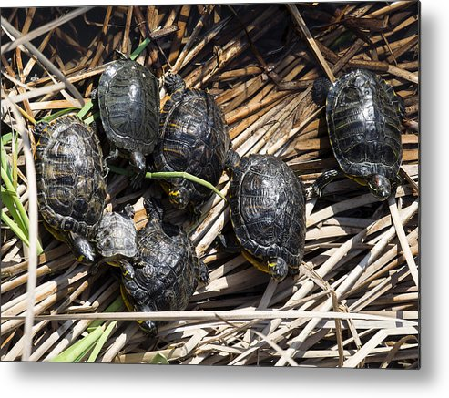 Tranquility Metal Print featuring the photograph Red-eared sliders / red-eared terrapins (Trachemys scripta elegans / Pseudemys scripta elegans / Emys elegans) group resting on log in lake by Jose A. Bernat Bacete