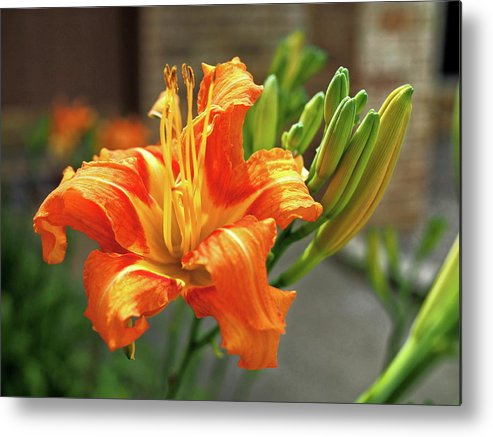 Orange Metal Print featuring the photograph Spring Flower 14 by C Winslow Shafer