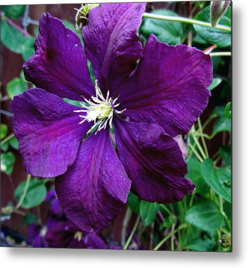 Flower Clematis Metal Print featuring the photograph Clematis Flower by Joyce Woodhouse