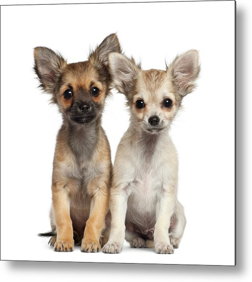 Pets Metal Print featuring the photograph Two Chihuahua Puppies Sitting 3 Months by Life On White