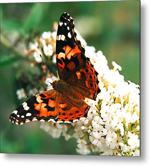 Butterfly Metal Print featuring the photograph Butterfly Bush by Paul Trunk