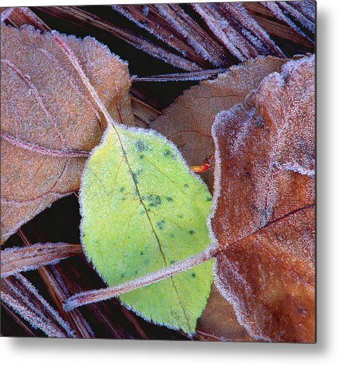 October Frost On Leaves Metal Print featuring the photograph October Frosting by Bill Morgenstern