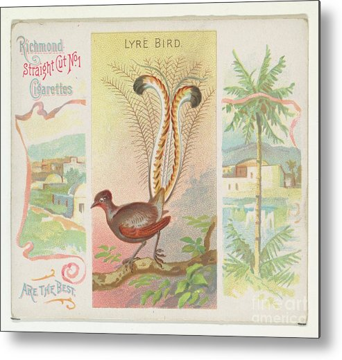 1880-1889 Metal Print featuring the drawing Lyre Bird by Heritage Images