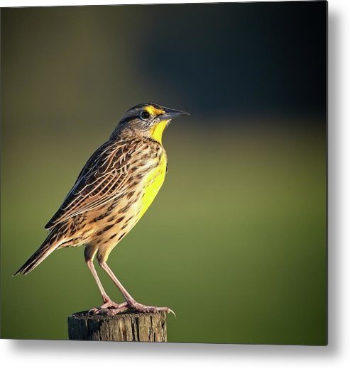 Nature Metal Print featuring the photograph Meadowlark No 1 by Steve DaPonte