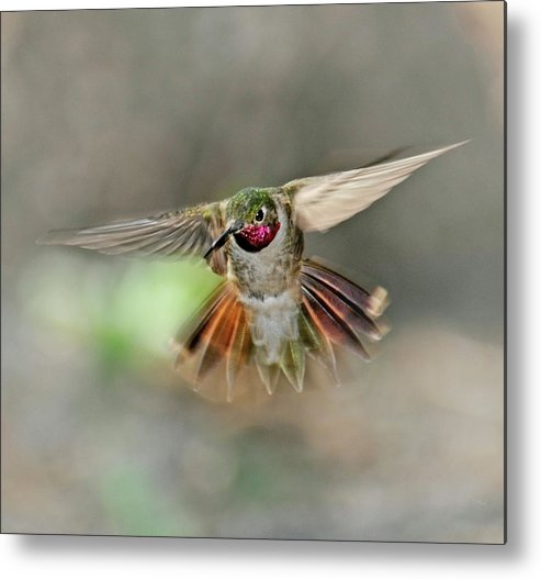 Dawn Metal Print featuring the photograph Poetry In Motion - Hummingbird Hovering by Eastman Photography Views Of The Southwest