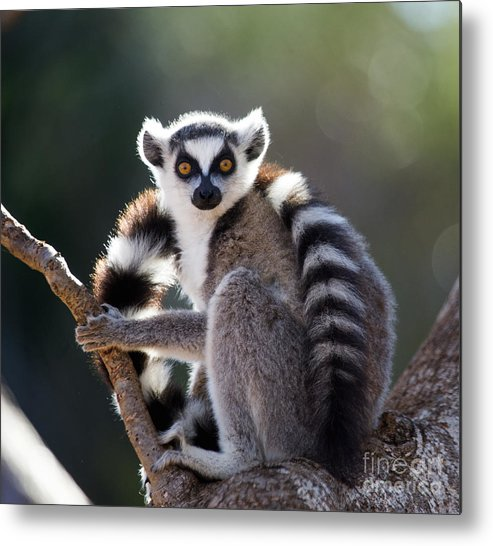 Forest Metal Print featuring the photograph Ring-tailed Lemur Sitting On A Tree by Gudkov Andrey