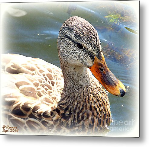 Duck Metal Print featuring the photograph Afternoon Swim by Rennae Christman