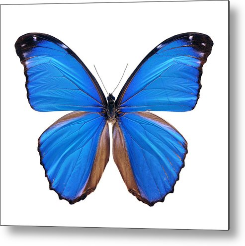 Amazon Rainforest Metal Print featuring the photograph Blue Morpho Butterfly - Large by Phototalk
