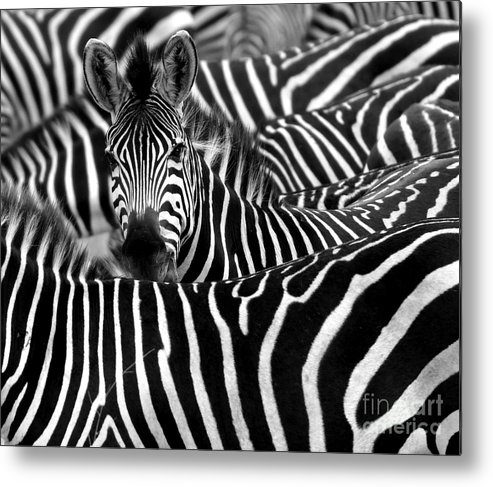 Fur Metal Print featuring the photograph Close Up From A Zebra Surrounded With by Chantal De Bruijne
