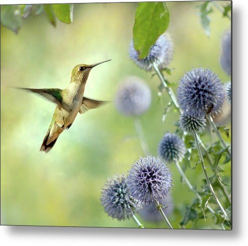 Animal Themes Metal Print featuring the photograph Hovering Hummingbird by Nancy Rose