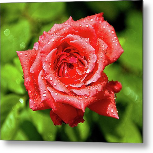New Delhi Metal Print featuring the photograph Rose With Raindrops by Charlie Joe
