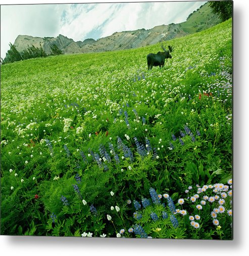 Non-urban Scene Metal Print featuring the photograph Usa, Utah, Wasatch National Forest, Mt by John Wang