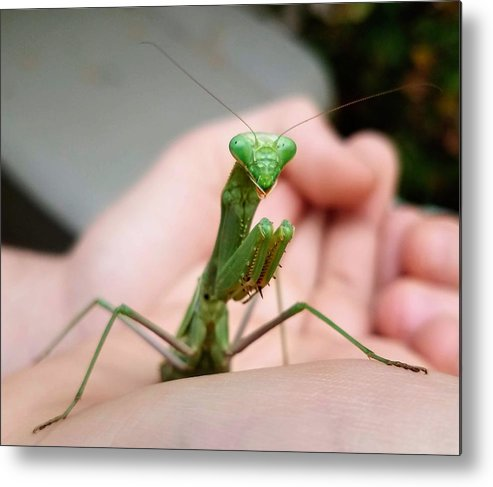Preying Mantis Metal Print featuring the photograph Praying Mantis by Bonnie McKeegan