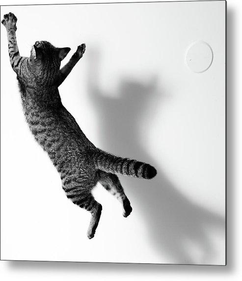 Pets Metal Print featuring the photograph Jumping Cat by Akimasa Harada