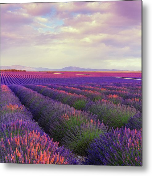 Dawn Metal Print featuring the photograph Lavender Field At Dusk by Mammuth