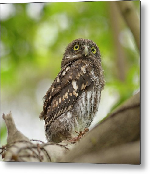 Owlet Metal Print featuring the photograph Asian Barred Owlet by Boti