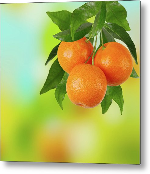 Hanging Metal Print featuring the photograph Branch Of Tangerines by Sashahaltam