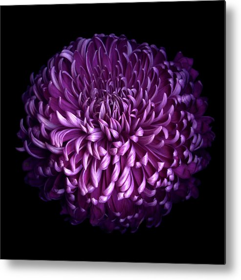 Chrysanthemum Metal Print featuring the photograph Glorious Autumn Purple Chrysanthemum by Photograph By Magda Indigo