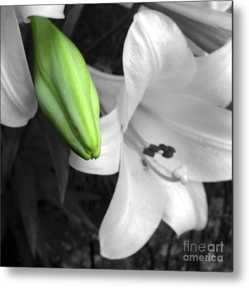 Lily Metal Print featuring the photograph Green Lily Bud by Stephen Prestek