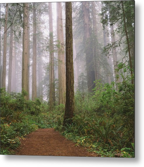 Tranquility Metal Print featuring the photograph Hiking Through Californias Redwoods by David Hoefler