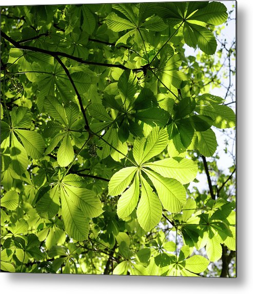 Backgrounds Metal Print featuring the photograph Horse Chestnut Leaves by Jeffoto