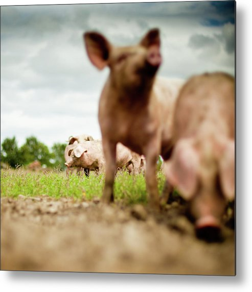 Pig Metal Print featuring the photograph Little Pigs by Emmanuelle Brisson