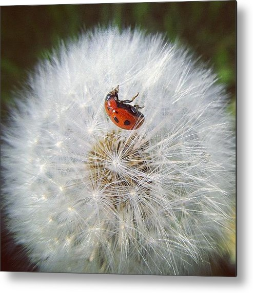 Cute Metal Print featuring the photograph #mgmarts #dandelion by Marianna Mills