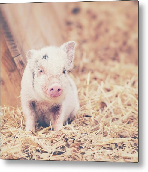 Pig Metal Print featuring the photograph Micro Pig by Samantha Nicol Art Photography