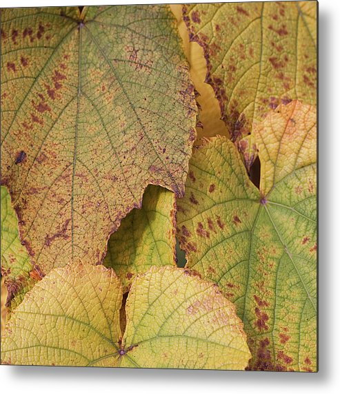 Coin Metal Print featuring the photograph Ornamental Vine by Kim Haddon Photography