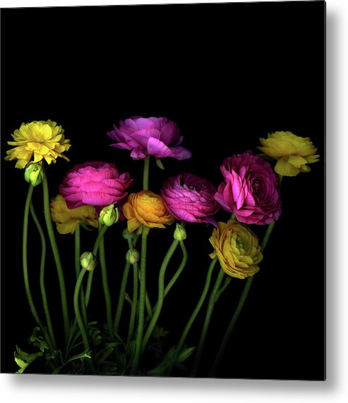 Black Background Metal Print featuring the photograph Persian Buttercups Ranunculus Asiaticus by Photograph By Magda Indigo