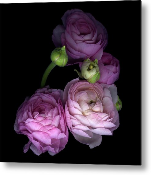Bud Metal Print featuring the photograph Pinkalicius Ranunculus... Pink For by Photograph By Magda Indigo