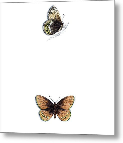 Engraving Metal Print featuring the photograph Silver Bordered Ringlet - Hand Coloured by Andrew howe