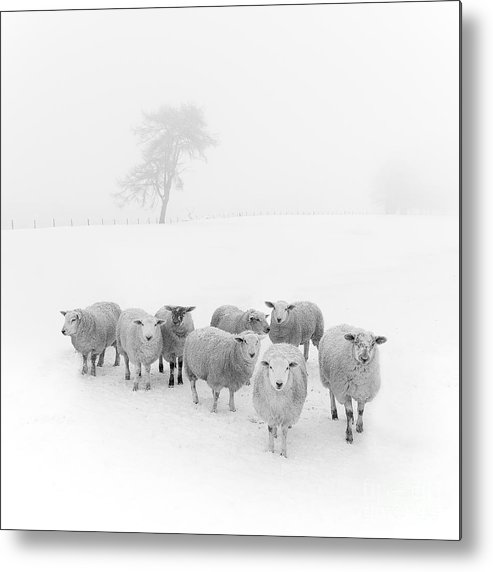 Sheep In Winter Metal Print featuring the photograph Winter Woollies by Janet Burdon