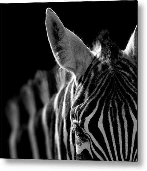 Zebra Metal Print featuring the photograph Portrait of Zebra in black and white by Lukas Holas