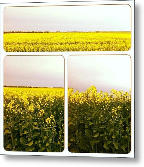 Scenery Metal Print featuring the photograph #canola#flower#flowers #heaven by Seeker Seeker