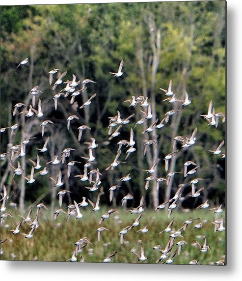 South Jersey Metal Print featuring the photograph Migratory Birds - Sandpipers by Penni D'Aulerio