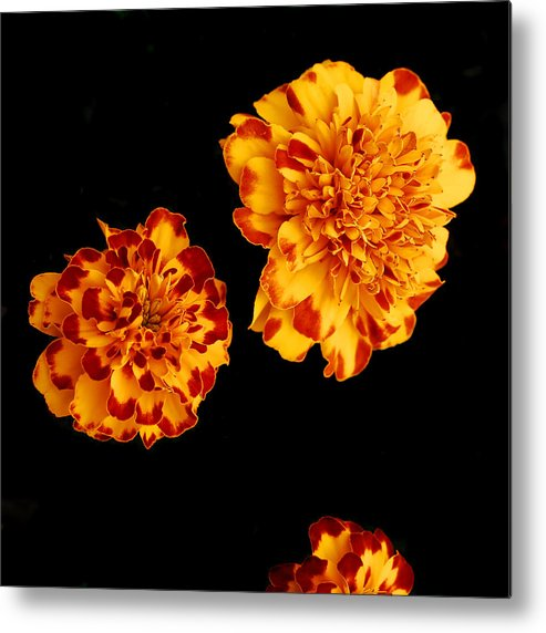 Flower Metal Print featuring the pyrography Red And Yellow by Barry Shaffer