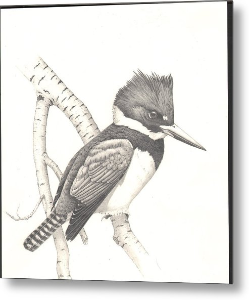 Kingfisher Metal Print featuring the drawing study for Belted Kingfisher painting by Bill Gehring