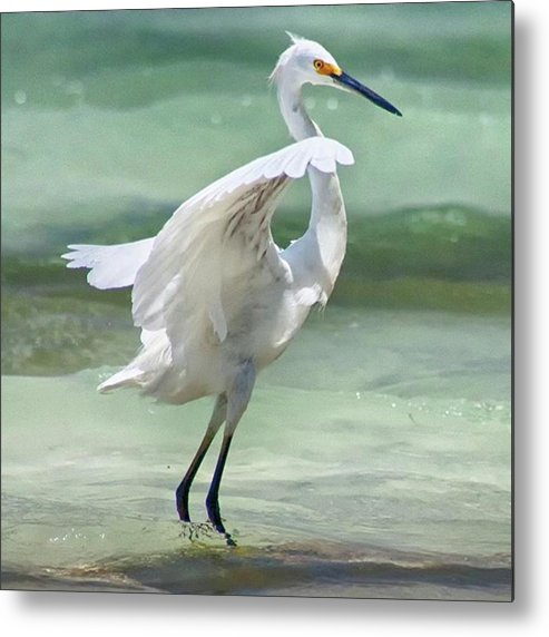Egret Metal Print featuring the photograph A Snowy Egret (egretta Thula) At Mahoe by John Edwards