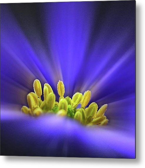Beautiful Metal Print featuring the photograph blue Shades - An Anemone Blanda by John Edwards