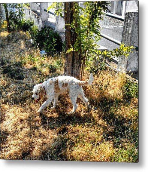 Cute Metal Print featuring the photograph #dog #lagotto #lagottoromagnolo #pet by Michele Stuppiello
