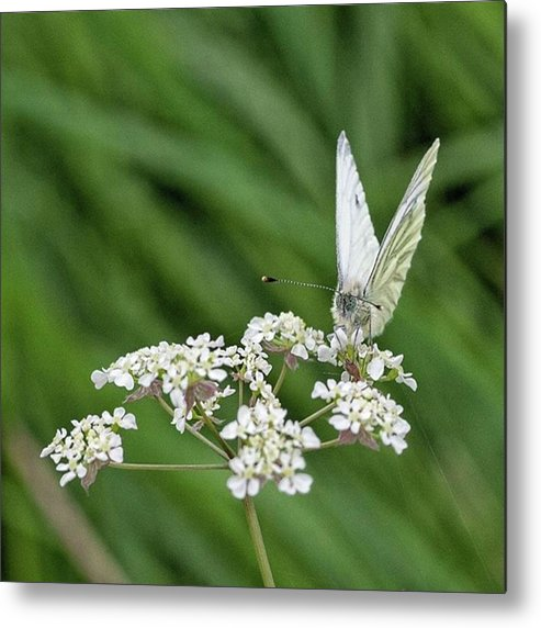 Insectsofinstagram Metal Print featuring the photograph A Green-veined White (pieris Napi) by John Edwards
