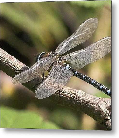 Dragonfly Metal Print featuring the photograph Aeshna Juncea - Common Hawker taken At by John Edwards