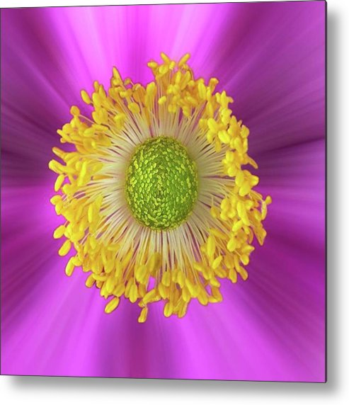 Beautiful Metal Print featuring the photograph Anemone Hupehensis 'hadspen by John Edwards
