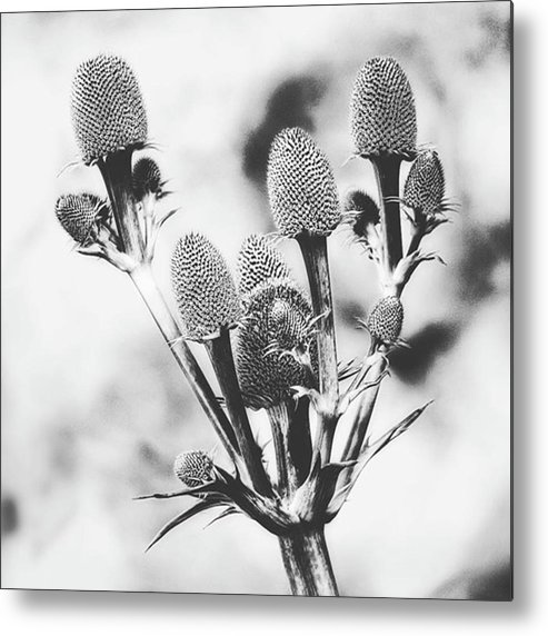 Beautiful Metal Print featuring the photograph Eryngium #flower #flowers by John Edwards