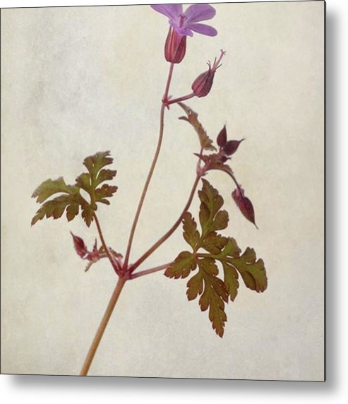 Beautiful Metal Print featuring the photograph Herb Robert - Wild Geranium  #flower by John Edwards